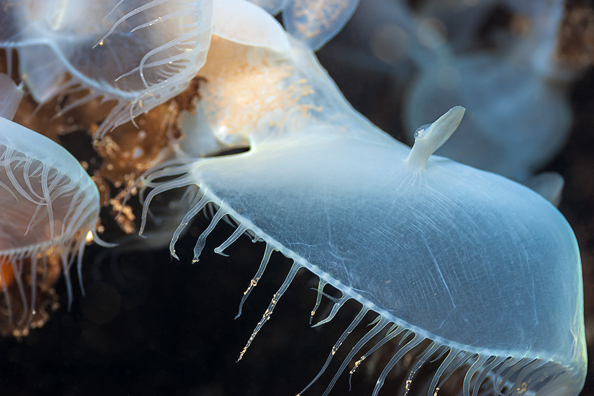Photograph Hooded Nudibranch 2116 by John Rix on 500px