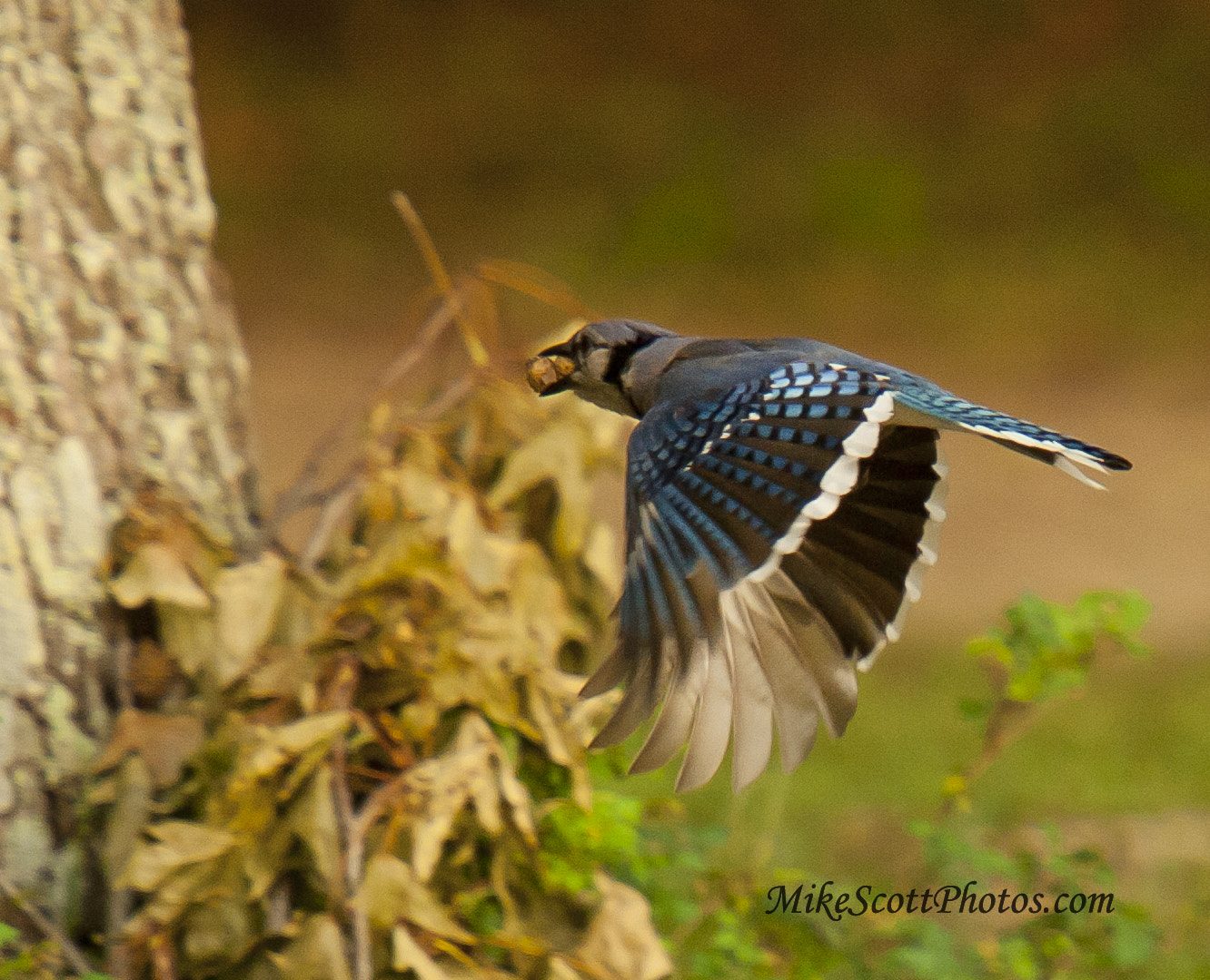 Photograph Hungry Jay by MikeScottPhotos  on 500px