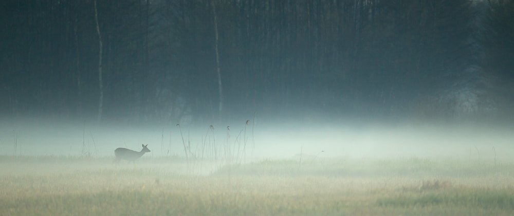 Photograph Roe deer in the mist by René Visser on 500px