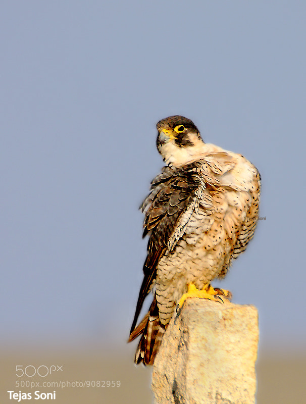 Photograph peregrine falcon by Tejas Soni on 500px