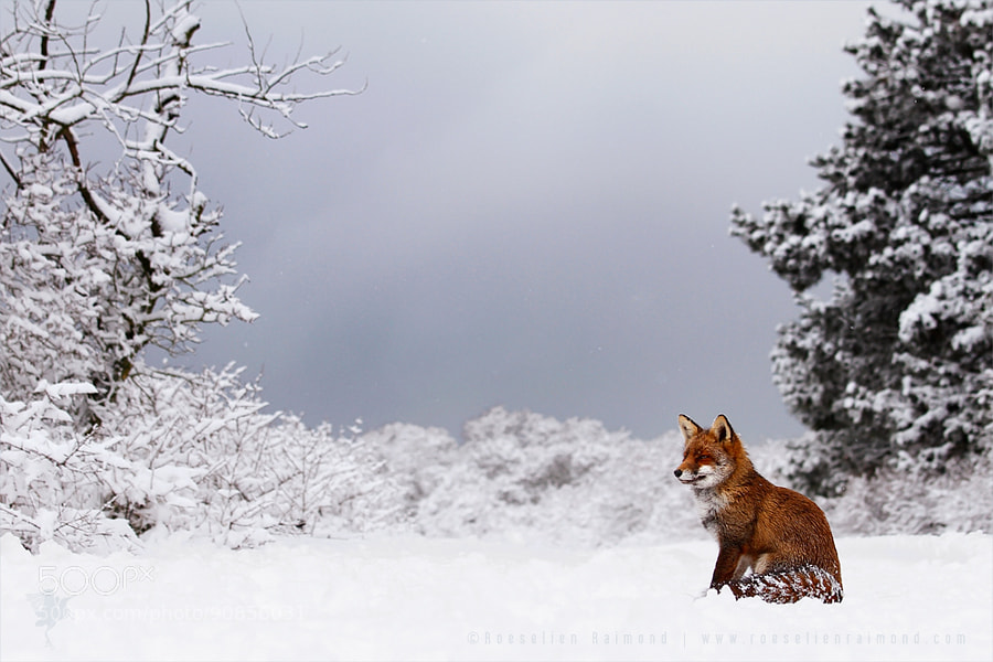 Photograph Fox in a White World by Roeselien Raimond on 500px