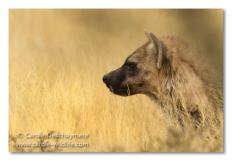 Photograph hyena stare by Deschuymere Carole on 500px