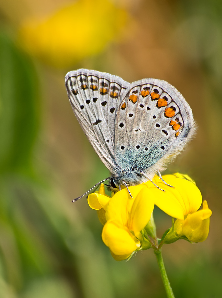 Photograph Polyommatus icarus by Lele Erre on 500px