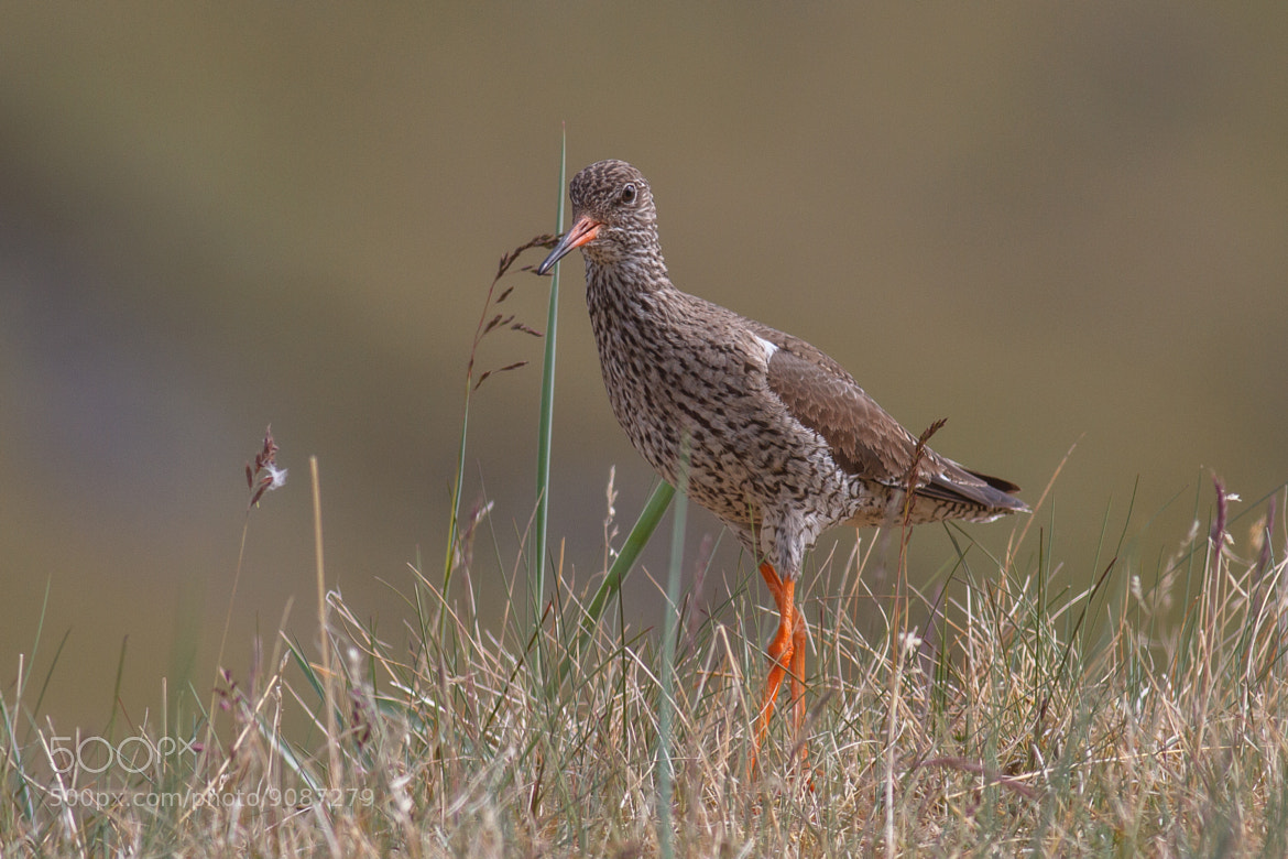 Photograph Redshank by Reynir Skarsgård on 500px