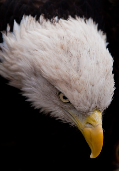 Photograph Bald Eagle by Alexandre Guapyassu on 500px