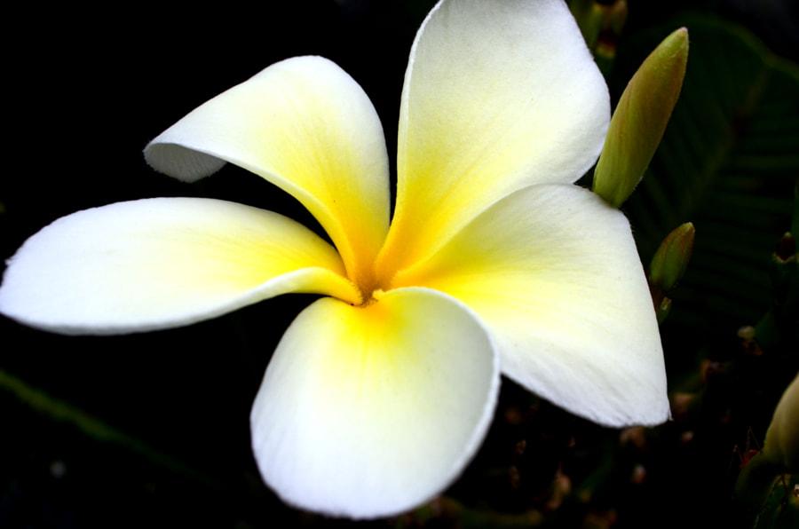 Plumeria by Manoj Pandey (Nikon) on 500px.com