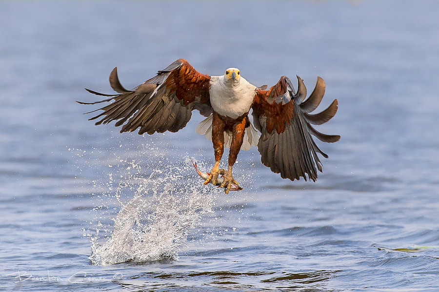 Eagle on the Hunt by Brendon Cremer on 500px.com