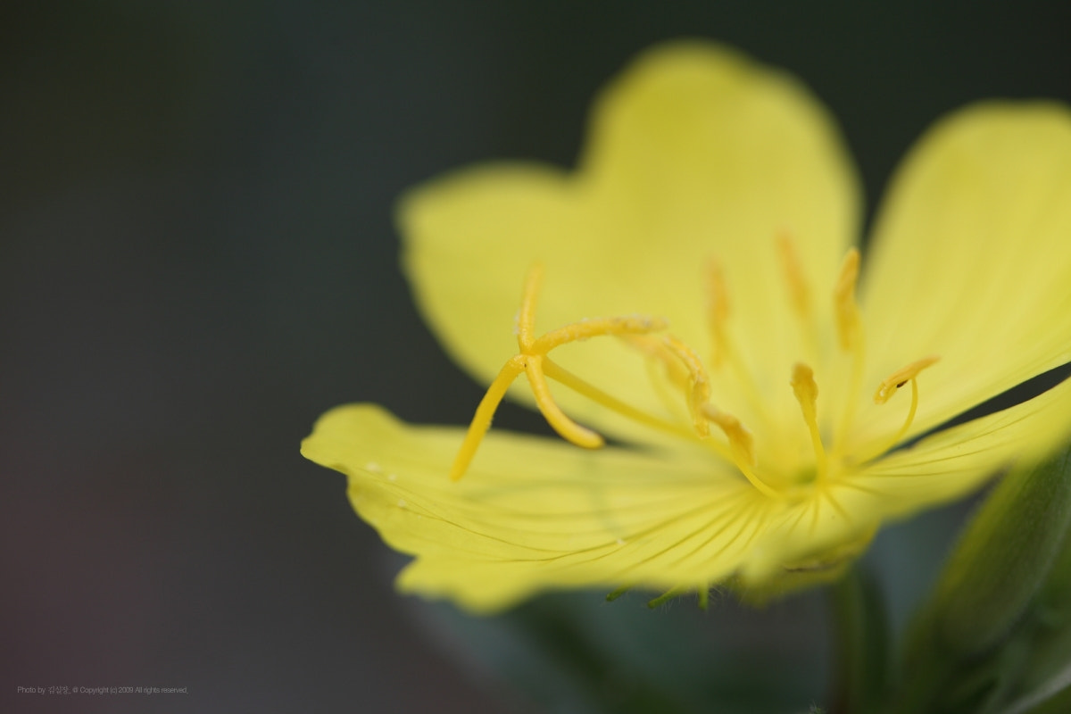 Photograph Evening Primrose by KIM DONGYOUNG on 500px