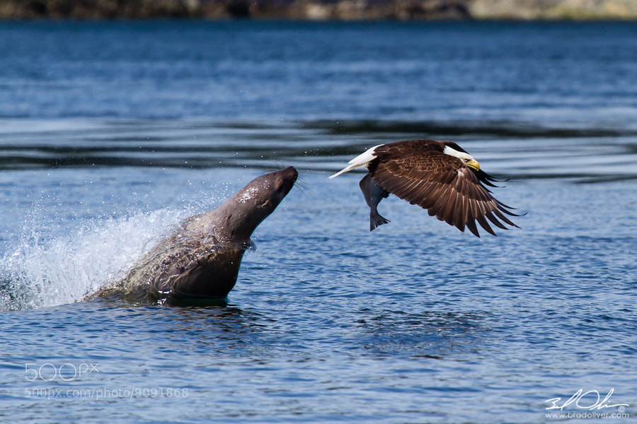 Photograph Bald Eagle vs Sea Lion by Brad Oliver on 500px