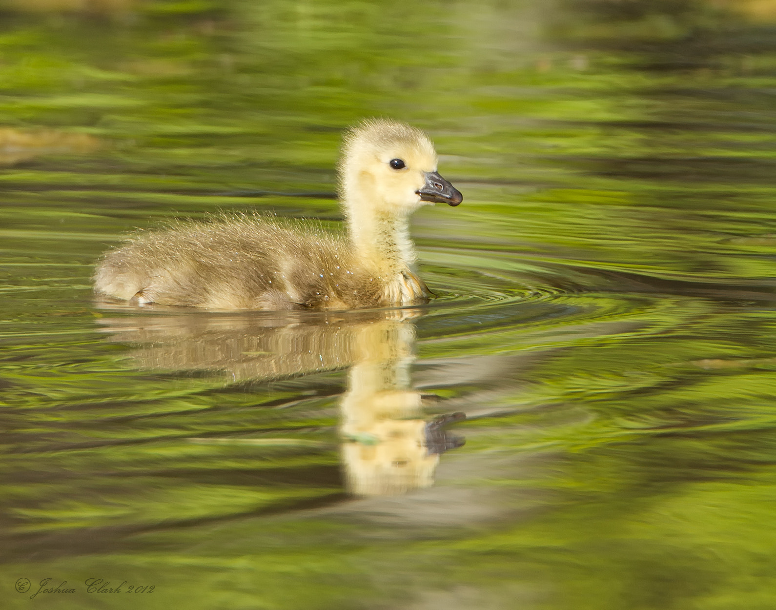 Photograph Canadian Goose Gosling by Joshua Clark on 500px