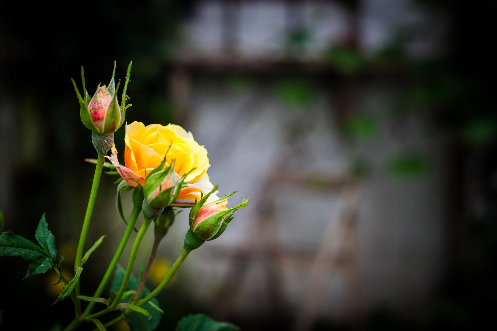 Photograph Yellow rose for friends by Håkan Dahlström on 500px