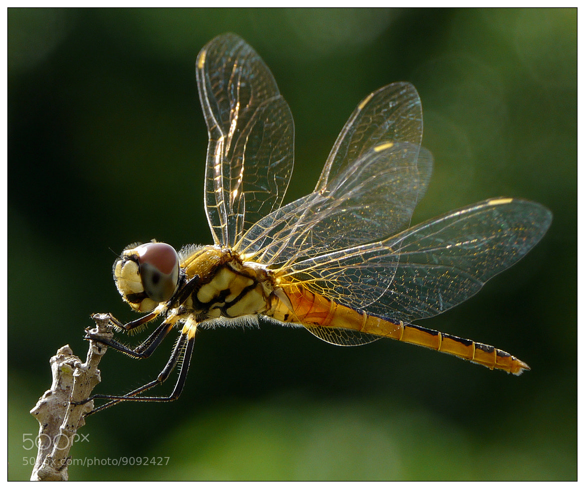 Photograph My Favorite Dragonfly by Sherman C. on 500px
