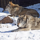 ������, ������: Wolves in the Moscow zoo ����� � ���������� ��������
