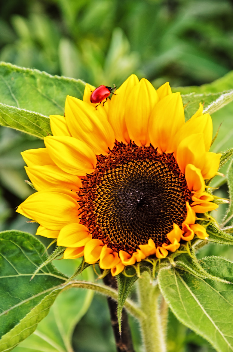 Photograph shining sunflower by Daniel Beck on 500px