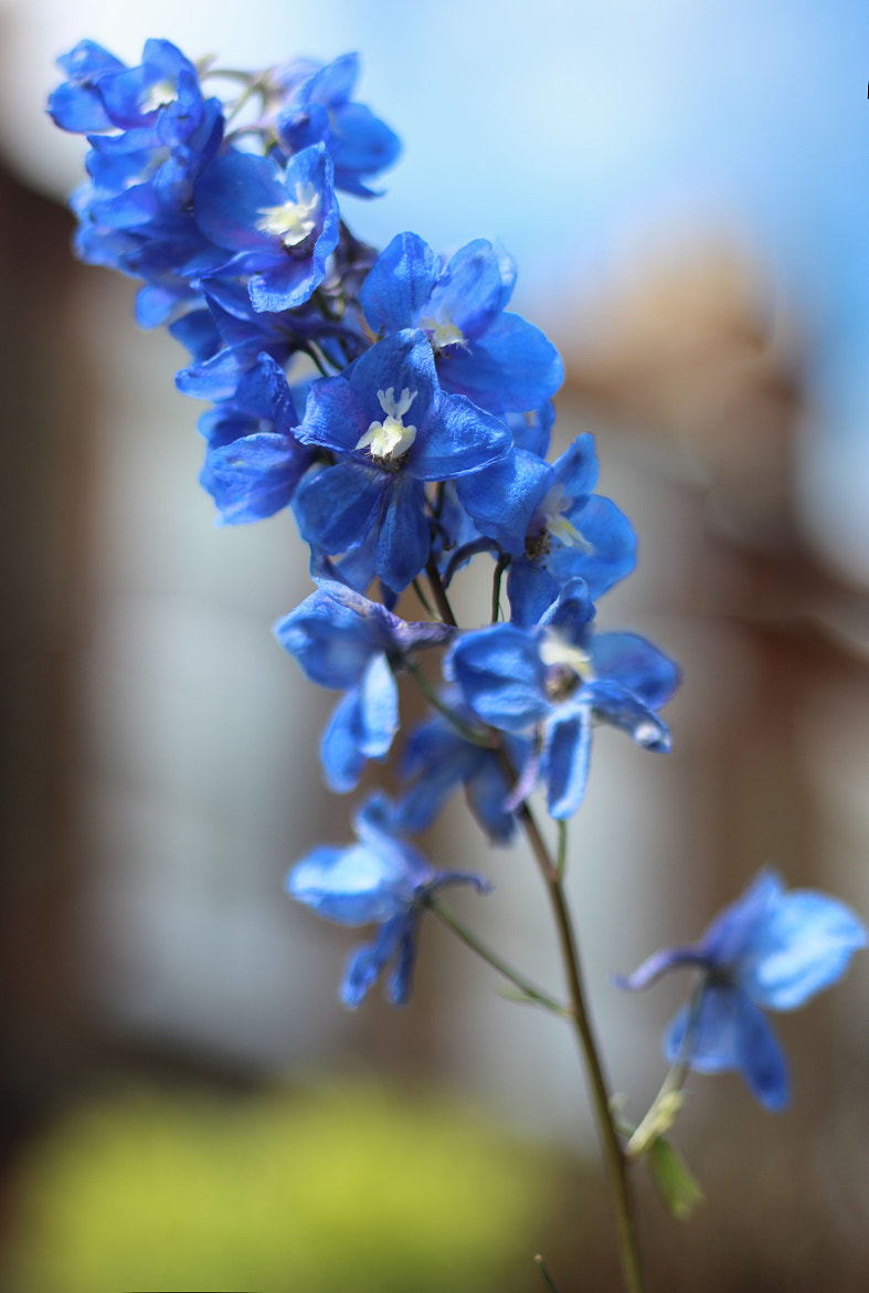 Photograph Flower Blue by Neil Watkins on 500px