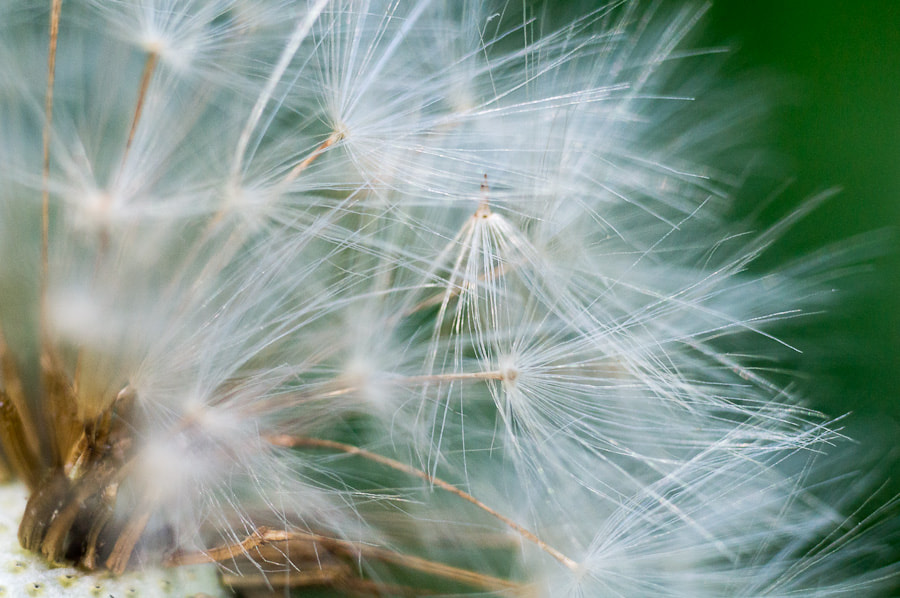 Photograph dandelion by Konstantin Makarov on 500px