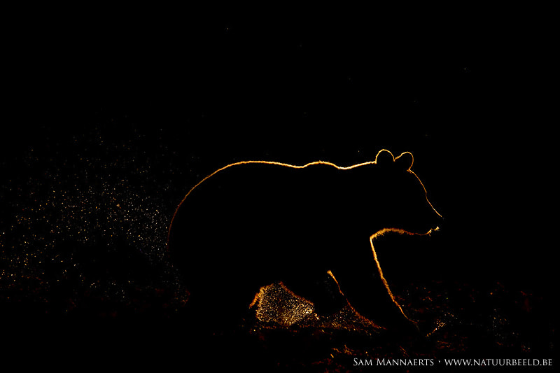 Photograph Brown bear silhouette by Sam Mannaerts on 500px