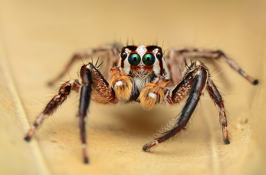 Photograph Jumping Spider by Simon Shim on 500px