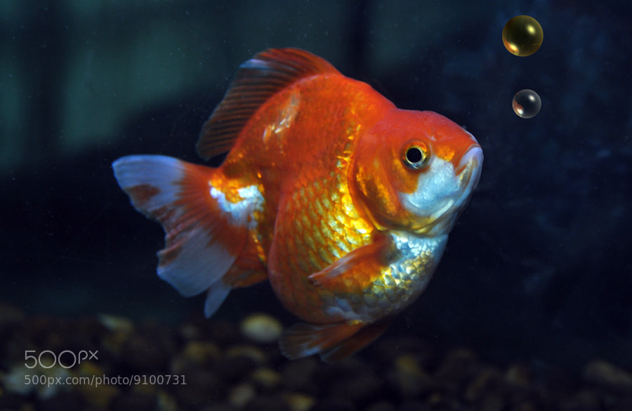 Photograph Gold Fish by Khoo Boo Chuan on 500px