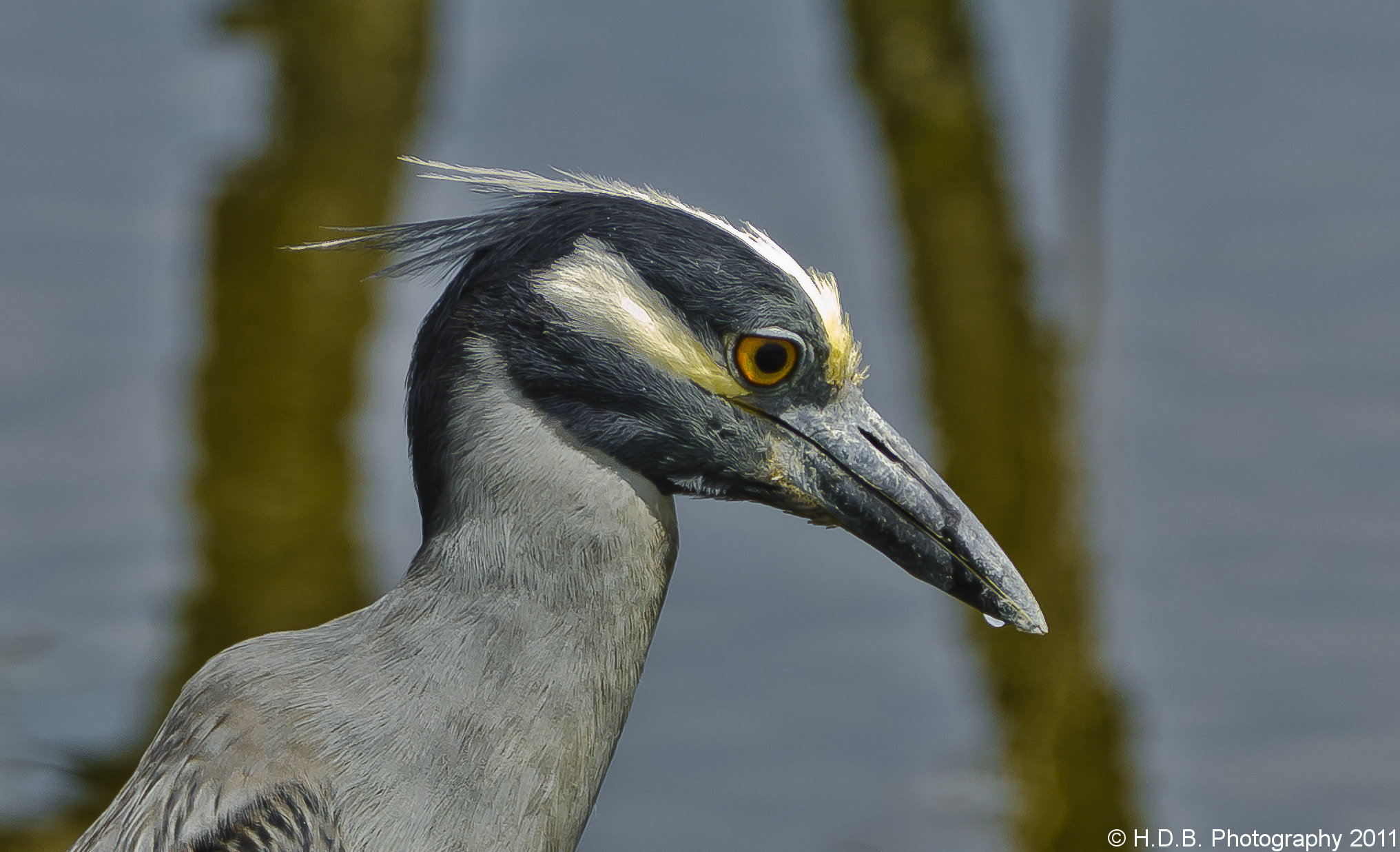 Photograph Yellow Crowned Night heron by Harold Begun on 500px