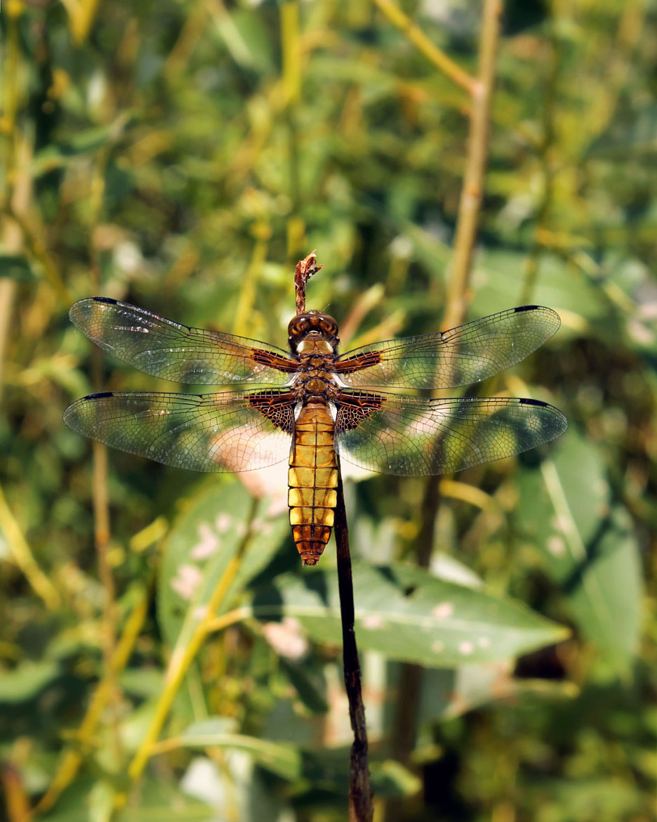 Photograph interesting dragonfly by anetta canon on 500px