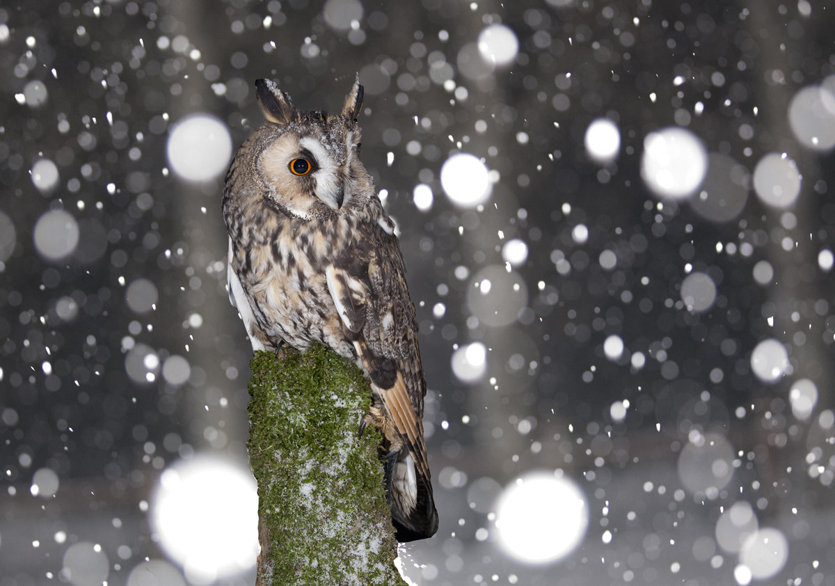 Photograph Long Eared Owl in snowstorm by Keith Burtonwood on 500px