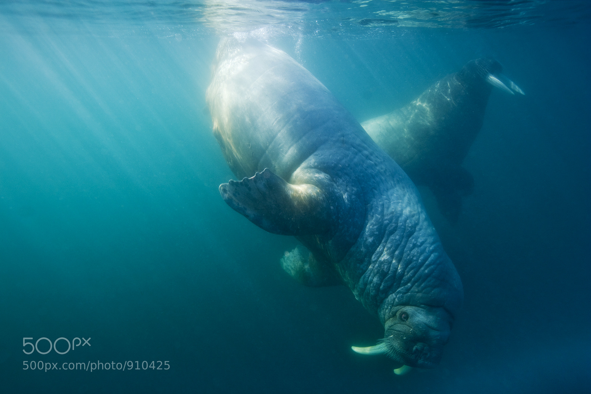 Photograph Underwater Walrus by Paul Souders | WorldFoto on 500px