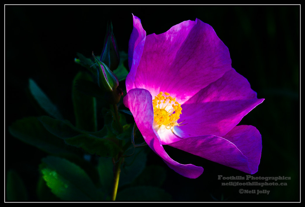 Photograph Wild Rose of the North by Neil Jolly on 500px