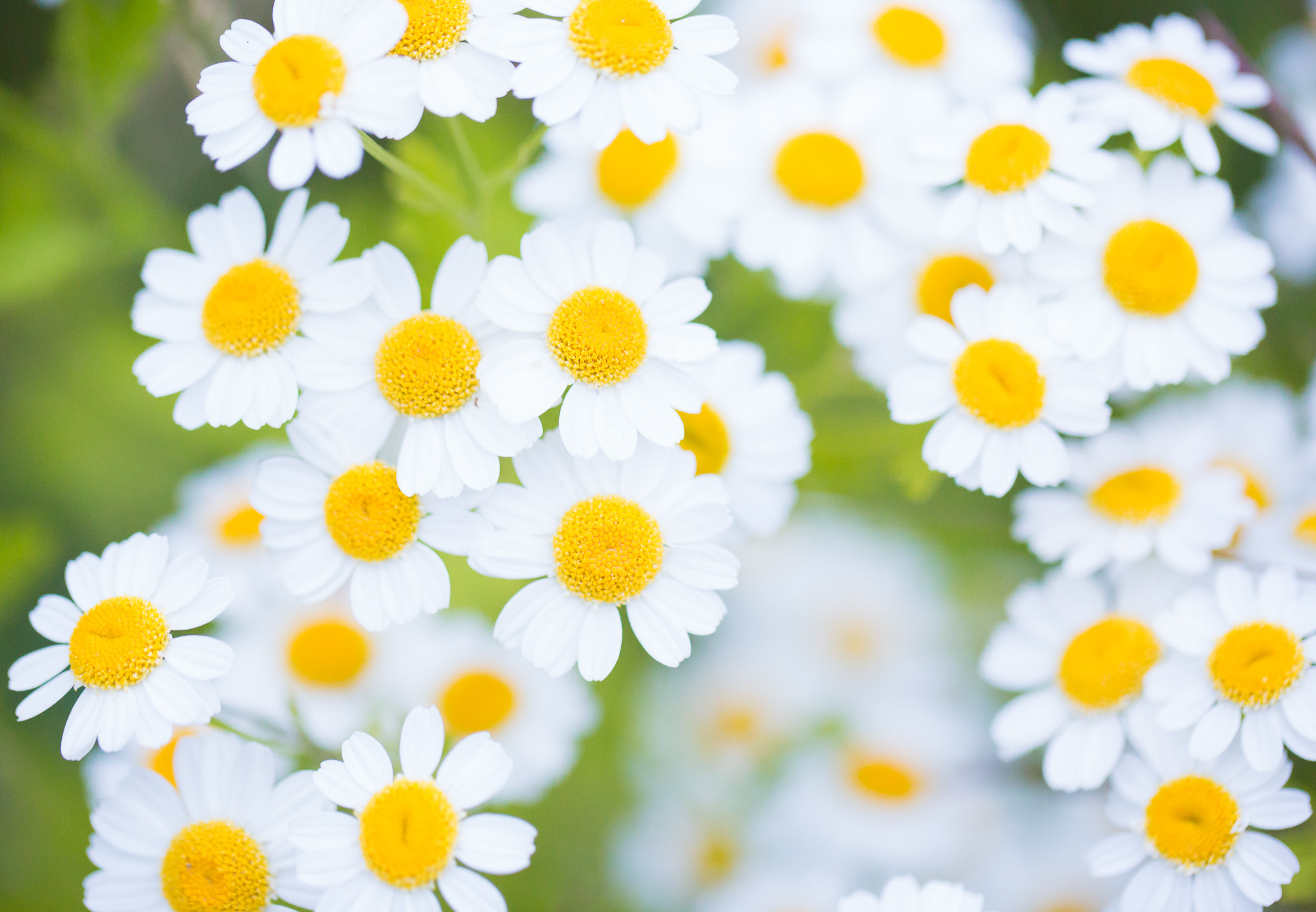 Photograph Daisies by Joseph Calev on 500px