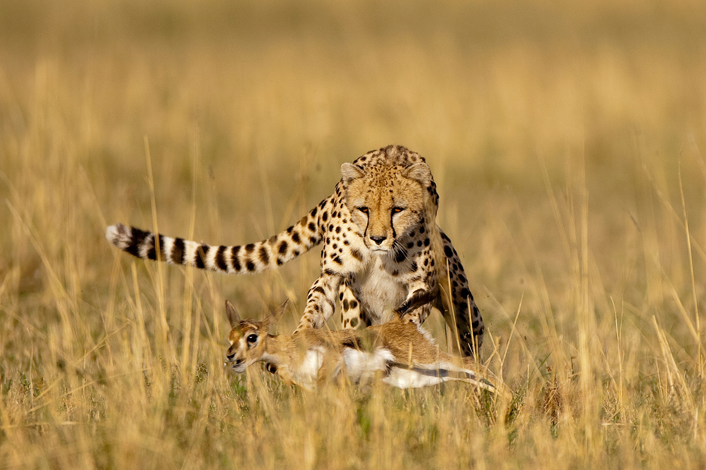 Photograph Cheetah Hunt by Paul Souders | WorldFoto on 500px