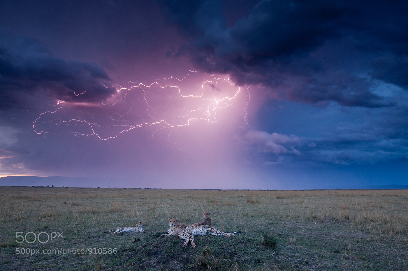 Photograph Cheetah and Storm by Paul Souders | WorldFoto on 500px