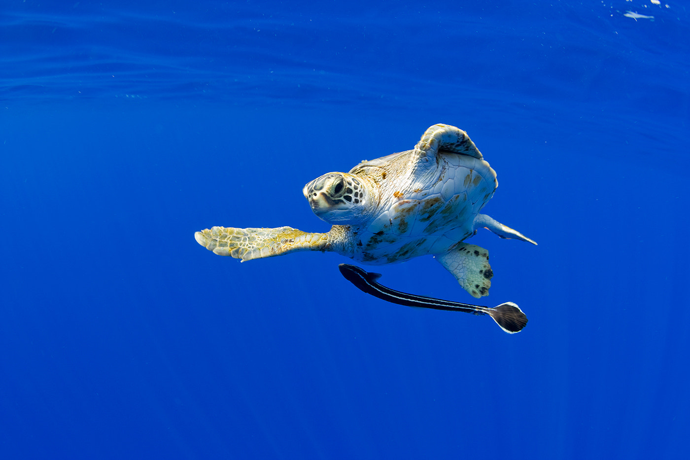 Photograph Sea Turtle and Remora by Paul Souders | WorldFoto on 500px