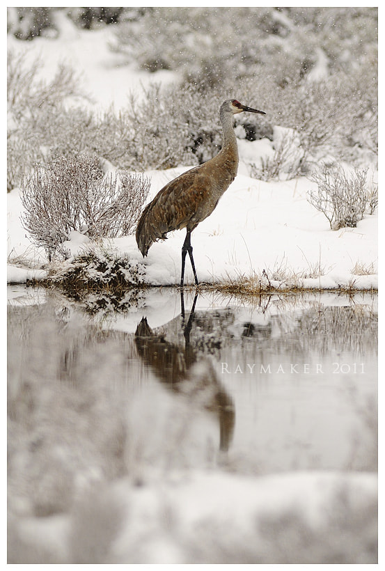 Photograph Snow Crane by Paul Raymaker on 500px