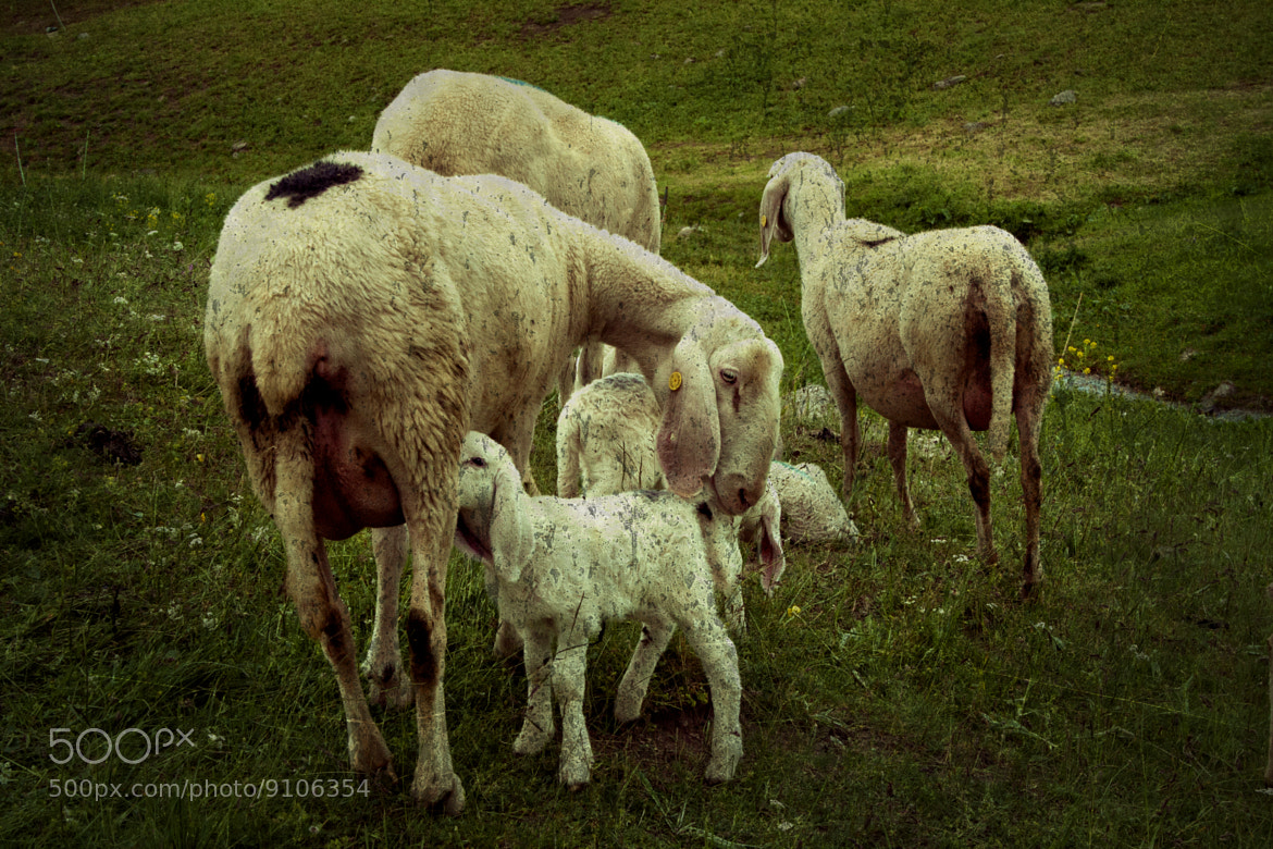 Photograph sheeps and lambs by Marco Falcone on 500px