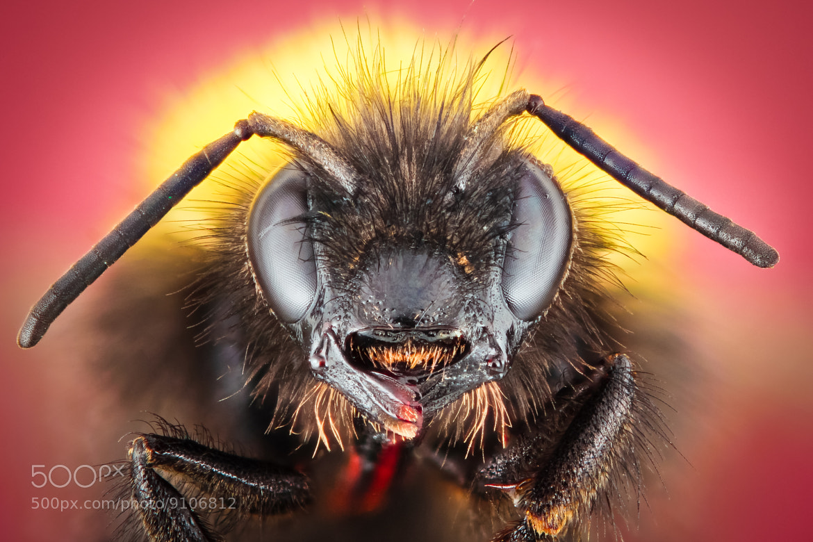 Photograph bumblebee by Alexander Rauch on 500px