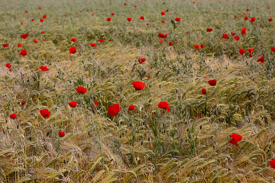 Photograph poppy field by Nino Matasa on 500px