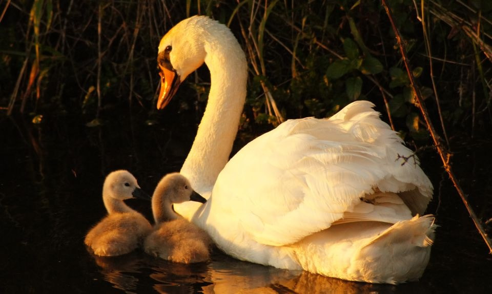 Photograph Mother Swan by JJ Nugent on 500px