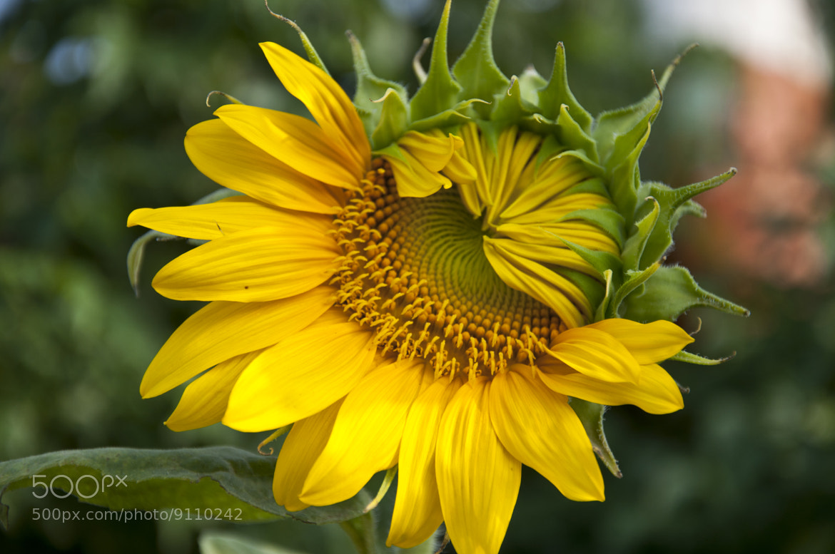 Photograph Sad Sunflower by Saud Alrshiad on 500px