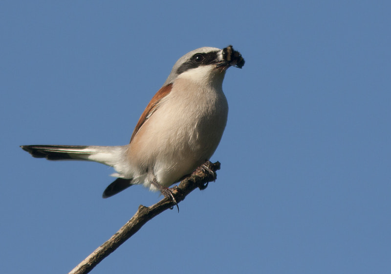 Photograph Red-backed Shrike 2 by Robert Westerhof on 500px