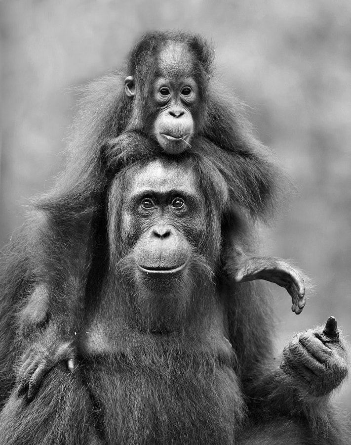 black and white pictures - Orang Utan by Elmar Weiss on 500px.com