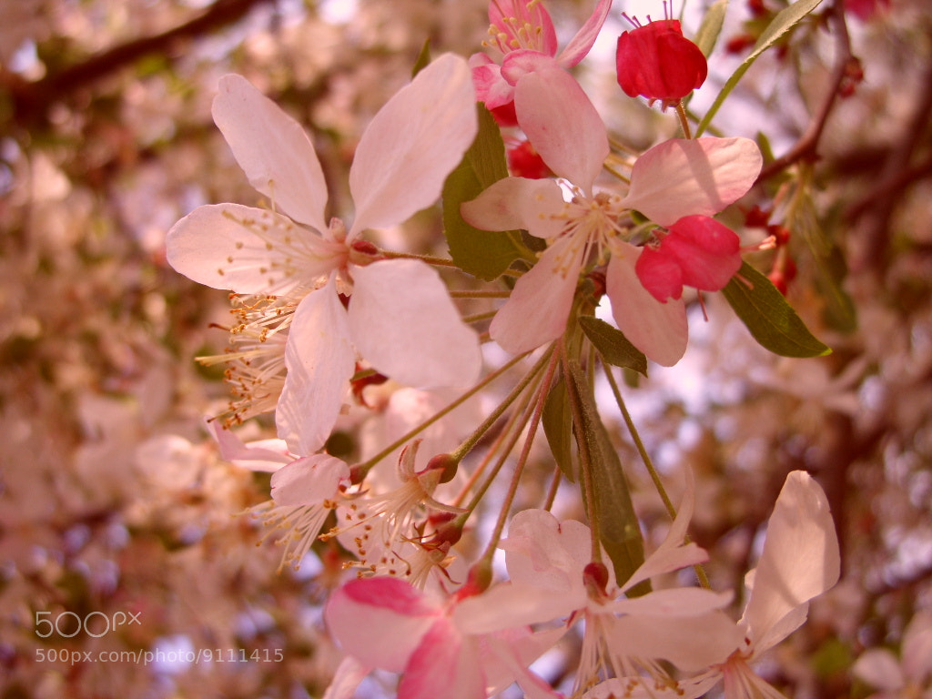 Photograph pink cherry blossom by beka 3000 on 500px