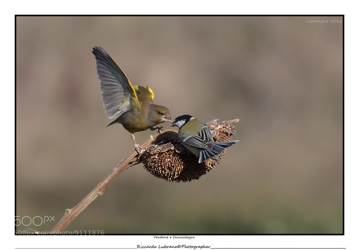 Photograph The greenfinch and the titmouse by Riccardo  Lubrano on 500px