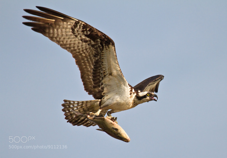 Photograph Flight of the Osprey by Lorraine Hudgins on 500px