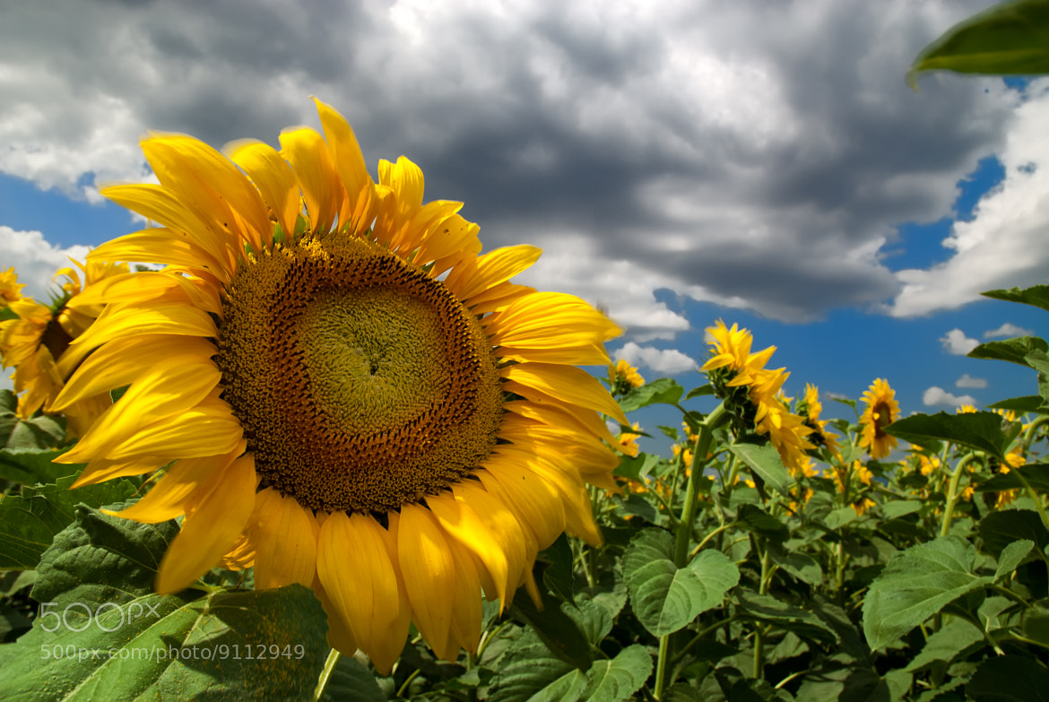 Photograph sunflower in the wind by Ivaylo Vassilev on 500px