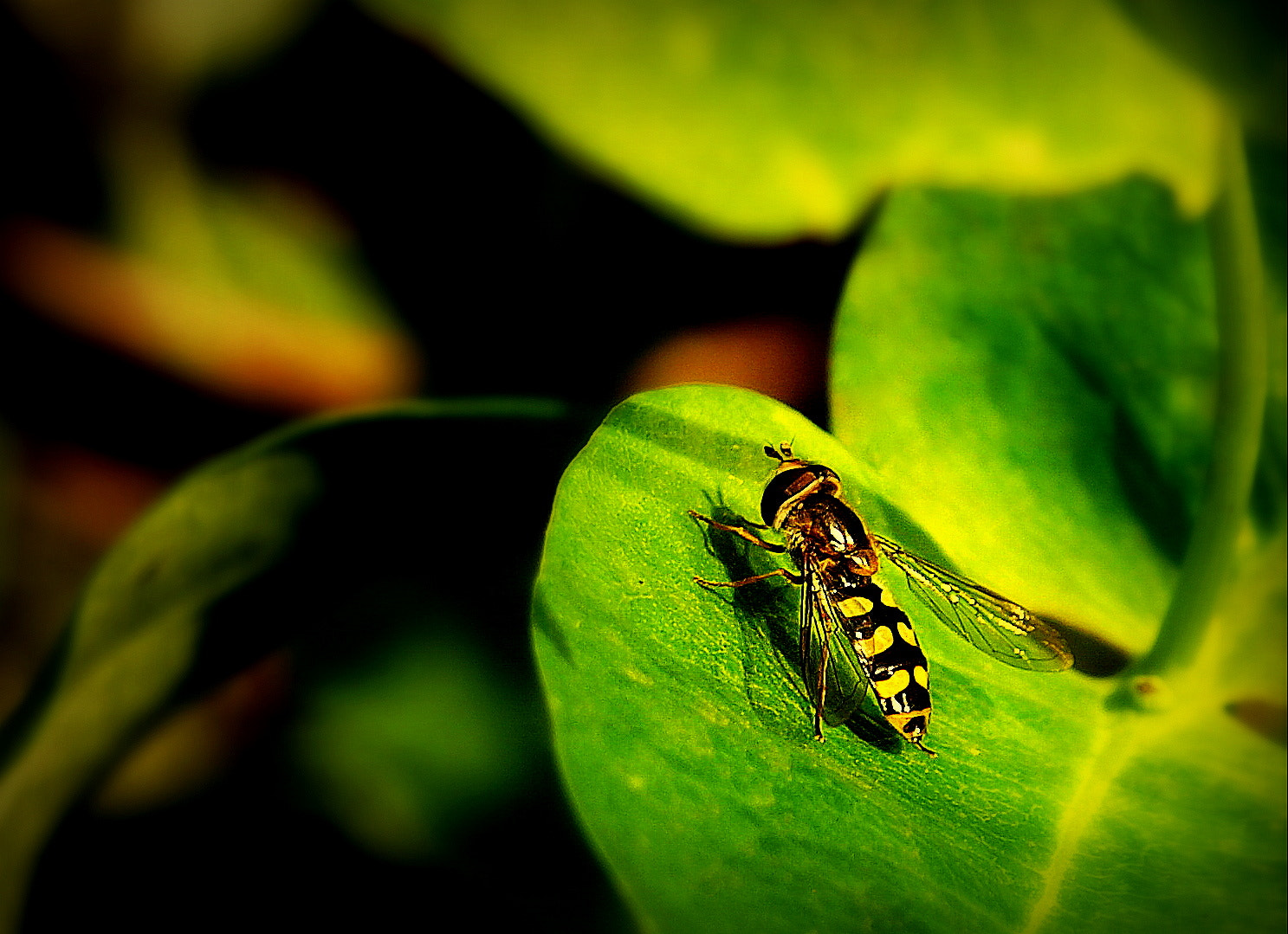 Photograph Hoverfly on leaf by Sara Daniella on 500px