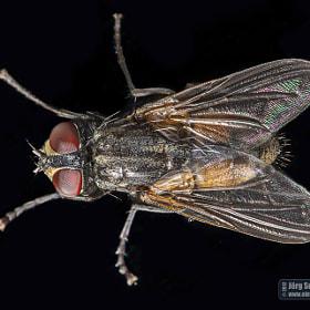 Stubenfliege | Housefly