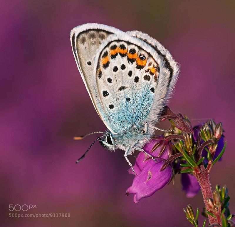 Photograph Silver-studded Blue by Matt Berry on 500px