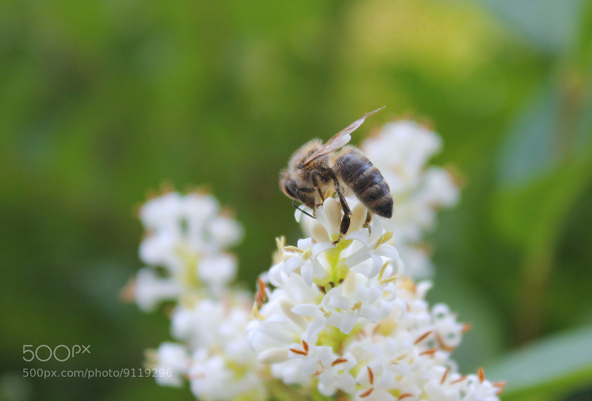 Photograph Bee by Immanuel Adenubi on 500px