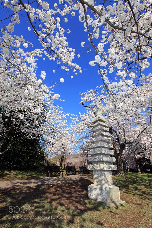 Photograph Cherry Blossom by Johnson Li on 500px