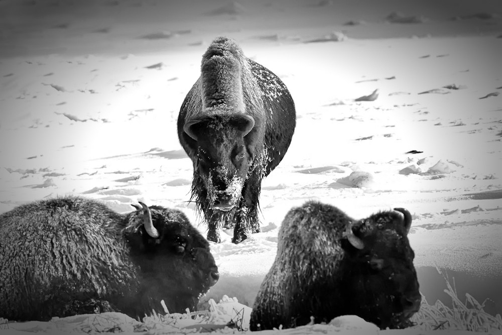 Photograph Angry Bison by Jerry Fleury on 500px